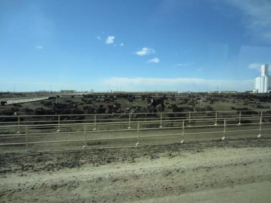 Five River Cattle Feeding-en av USA:s största feedlots! Foderfabriken syns till höger på bilden.